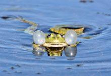 žába v rybníku